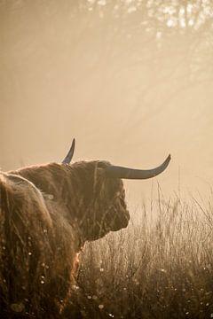 Schotse hooglander van Jisca fotografeert