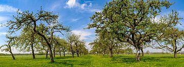 Voorjaar in de boomgaard met oude appelbomen van