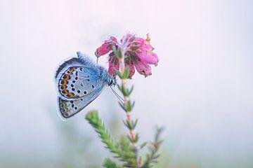 Heideblauwtje op dophei van Yvonne Hoenen