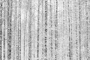 Het witte dennenbos van