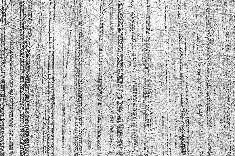 Het witte dennenbos van Nando Harmsen