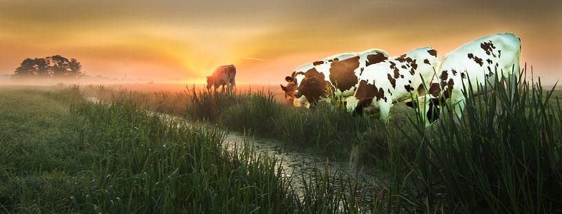 Koeien in de polder van Frans  de Best