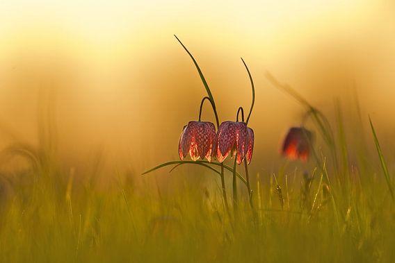 Kievitsbloemen bij zonsondergang van Erik Veldkamp