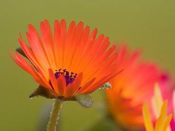 Fleur VI - Blumen - Blumen von Herma Egberts