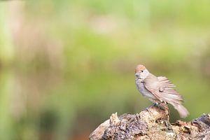 Zwartkop, Sylvia atricapilla - vrouwtje van