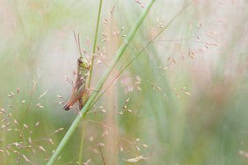 Sprinkhaan verscholen in het gras.