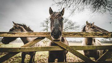 paarden van Bjorn Brekelmans