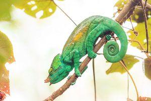 Groene Reuzenkameleon  van Dennis van de Water