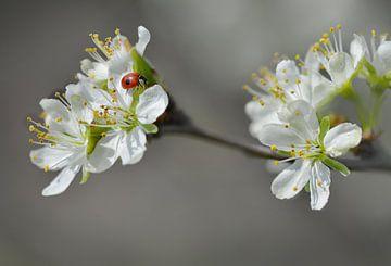 Marienkäfer im Pflaumenbaum von Dieter Beselt
