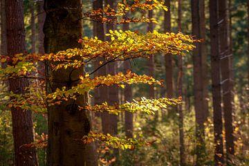 Herfst op de Utrechtse Heuvelrug van Mario Brussé