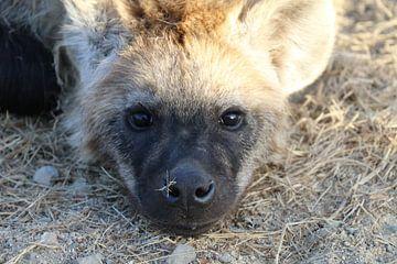 Hyänenjunges in Paul Kruger Park South Africa von