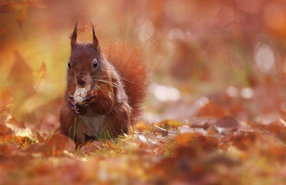 Eekhoorntje met een nootje van LHJB Photography