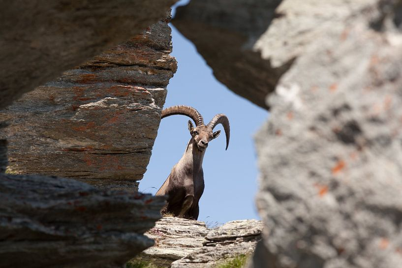 Steenbok op de flanken van de Seetalhorn van Rob Kints