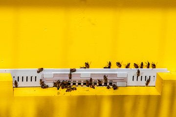 Een zwerm werkende honing bijen in een goudgeel insectenhuis