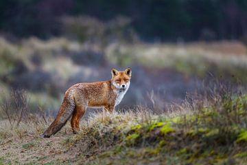fox sur Pim Leijen