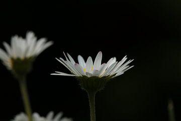 Gänseblümchen im Gras von Bärbel Severens