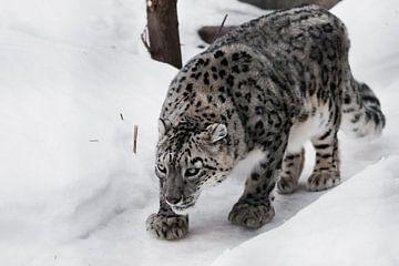 Le léopard des neiges se faufile en douce sur Michael Semenov