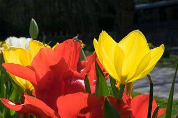 Tulpen van Heinz Grates