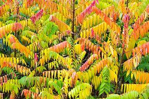 Fluweelbomen met verschillende herfstkleuren van