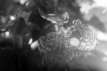 Clematis in herfstlicht van Kiezel Fotografie
