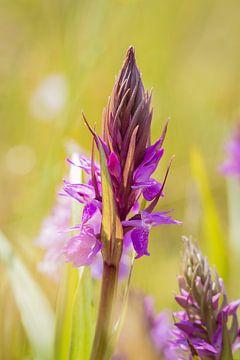 Brede orchis van Diane van Veen
