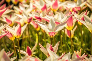 Mooie gekleurde tulpen van Stedom Fotografie