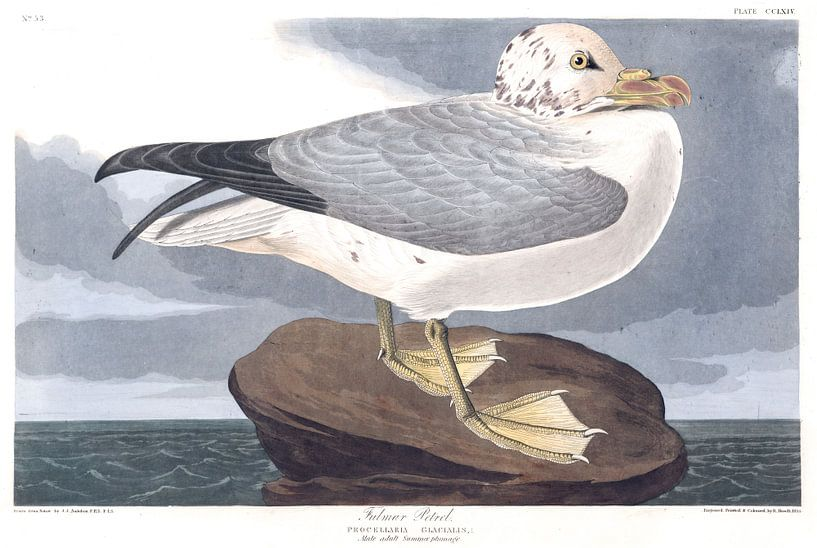 Noordse stormvogel van Birds of America