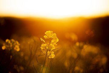 Raps im Sonnenuntergang von Lisa Becker