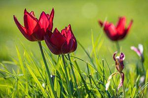 Tulpen in het gras 2