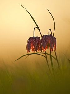 Kievitsbloemen bij zonsondergang van