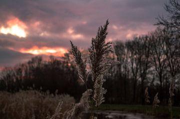 Riet in de avondzon von Richard Steenvoorden