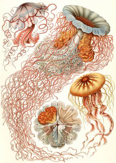 Haeckel, kwal, jellyfish. Discomedusae, Schweibenquallen van Liszt Collection