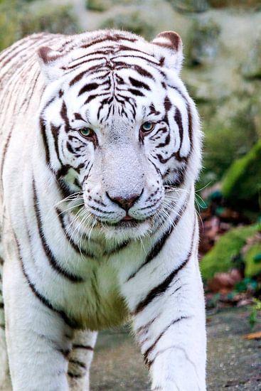 Portret van een witte tijger van Dennis van de Water