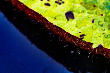 Close-up van gigantische Amazone Waterlelie in Iquitos, Peru van John Ozguc