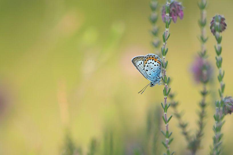 Heideblauwtje van Erik Veltink