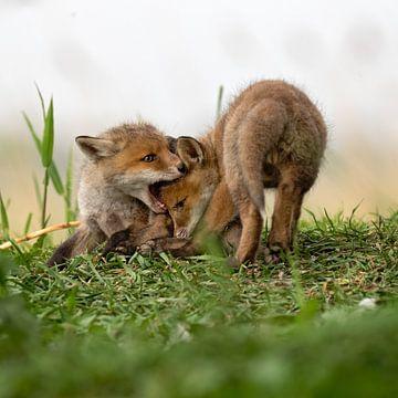 spelende rode vosjes von gea strucks
