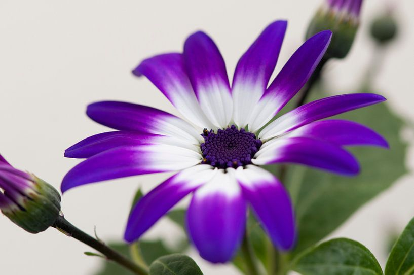 Senetti 'Violet Bicolor' van Tamara Witjes