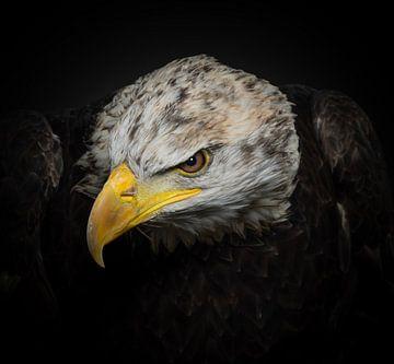 L'aigle chauve sur Natascha Worseling