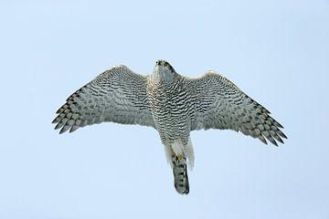 Northern Goshawk in flight von Beschermingswerk voor aan uw muur