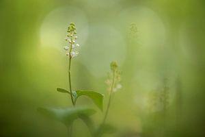 Arnica dans la forêt de hêtres sur Lia Hulsbeek Brinkman