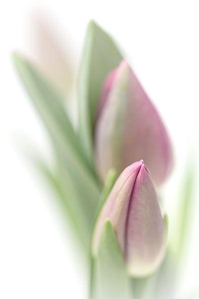 Bedroom Tulip... (bloem, tulp) van Bob Daalder