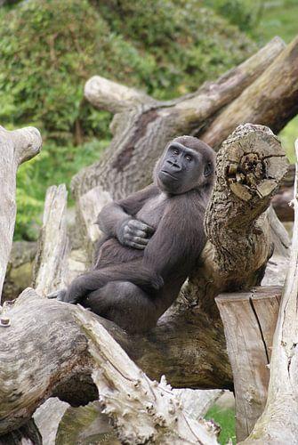 Luierende westelijke laagland gorilla