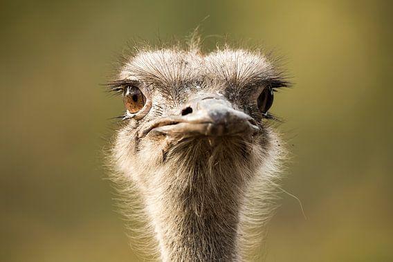 struisvogel close up  van Rando Kromkamp