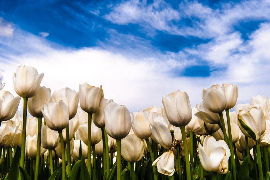 Witte tulpen tegen blauwe lucht