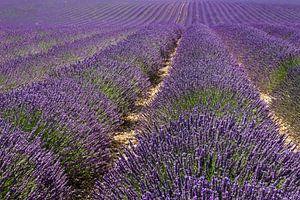 Eindeloos Lavendel van