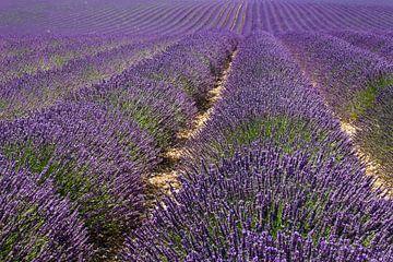Endliches Lavendel von