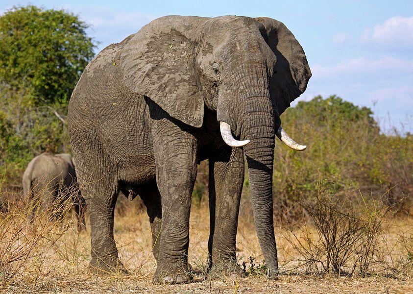 The elephant - Africa wildlife