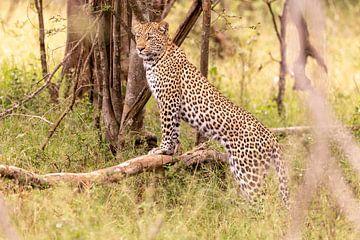 Léopard d'Afrique sur Dennis Eckert
