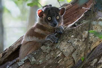 De sportieve lemur. van