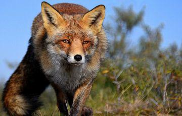 Prachtige vos. van Patrick Hartog